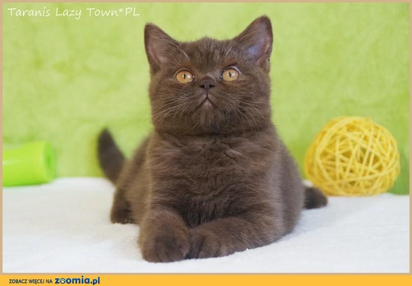 Czekoladowy kociak brytyjski rodowód WCF