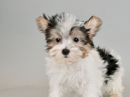 Yorkshire Terrier miniaturowy
