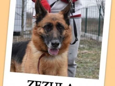 5 letnia ZEZULA mądra kontaktowa sterylizowana suczka owczarka niemAdopcja   śląskie Gliwice