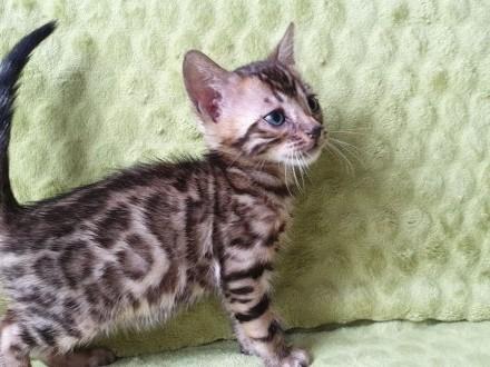 kocurek bengalski ZYGGY Dorycats*PL rodowód FPL (FIFE)