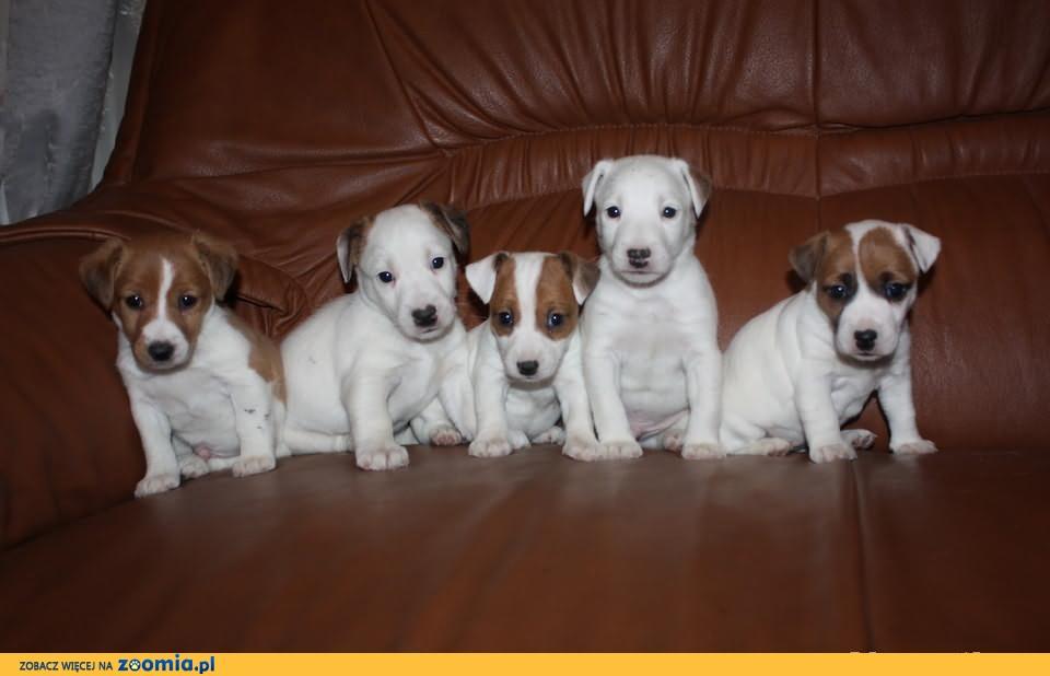 JACK RUSSEL Terrier - z hodowli z 20 letnim doświadczeniem