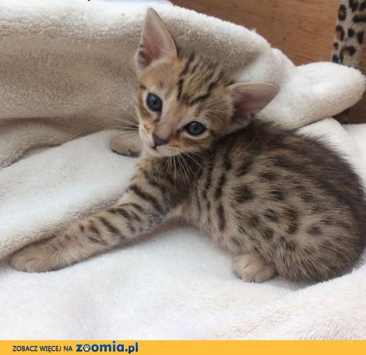 F5 brązowy czarny spotted kotki Savannah tylko 11 tygodni.,  Pozostałe cała Polska