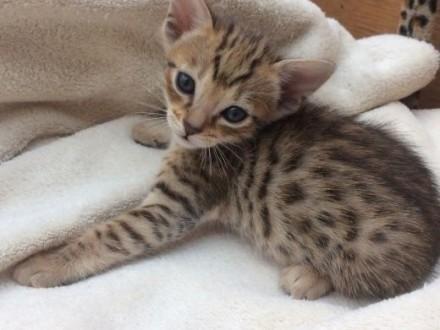 F5 brązowy czarny spotted kotki Savannah tylko 11 tygodni   Pozostałe cała Polska