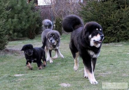 Mastif Tybetański szczeniak z rodowodem