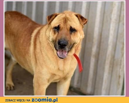 40 kg mix shar peia do domu z ogrodem   czujny odważny pies TAJFUN_Dam