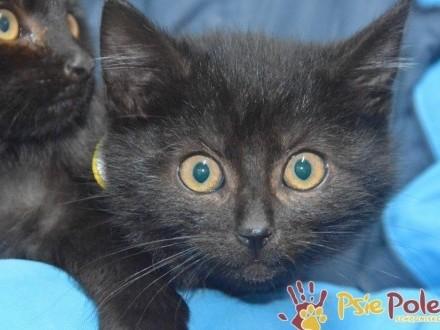 MORTEK-piękny mały czarny kociak szuka troskliwego domu  adopcja