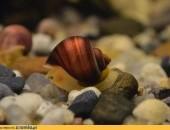 ampularia ampularie ślimak na glony ślimaki