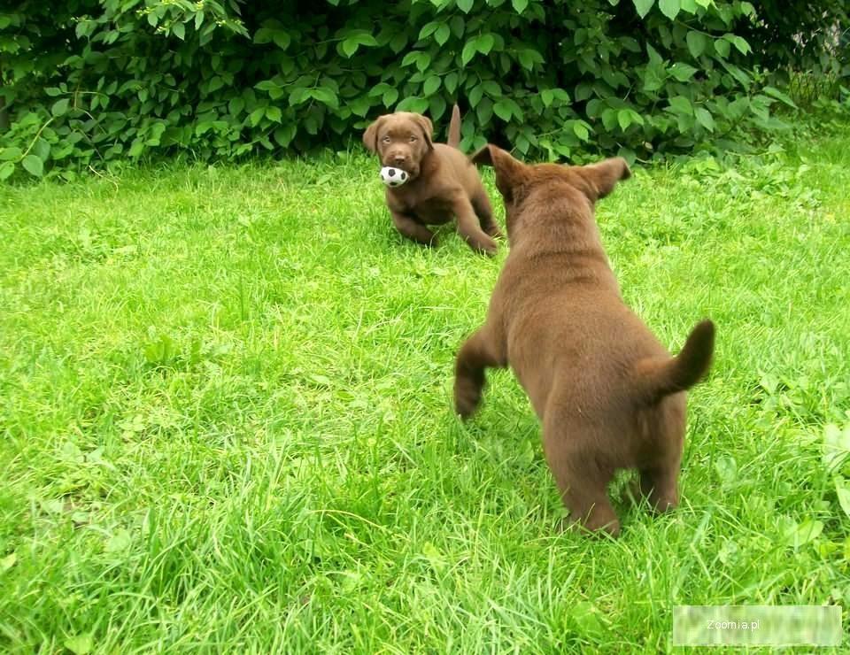 Labrador Czekoladowe Szczenięta