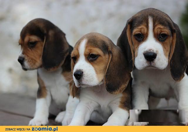 Beagle Tricolor z rodowodem ZKwP