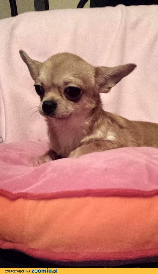 Chihuahua pieski z rodowodem FCI 8 miesieczne sprzedam!