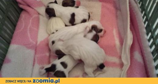Jack Russell Terrier - śliczne!!!,  śląskie Częstochowa