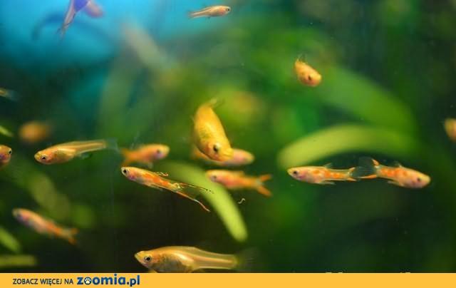 Gupiki Endlera odmiana Gold Poecilia Wingei -stado zarodowe gupik