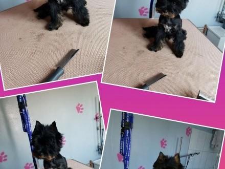 Yorkshire Terrier różne odmiany kolorystyczne PASZPORT!!!,  łódzkie Zduńska Wola