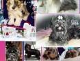 'Yorkshire Terrier różne odmiany kolorystyczne PASZPORT!!!,  łódzkie Zduńska Wola