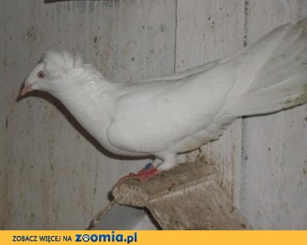 Gołębie  gdańskie wysokolotne (sokoły gdańskie) biały  samica_