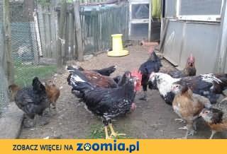 Sprzedam kury i kurczaki oraz kaczki biegusy