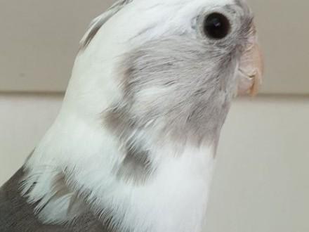 Nimfa nimfy białogłowe standardy lutino młode do oswojenia jak i dojrzałe do lęgów