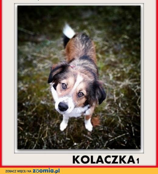Mała,9kg,młodziutka,łagodna,steryl. suczka KOLACZKA1,  dolnośląskie Wrocław