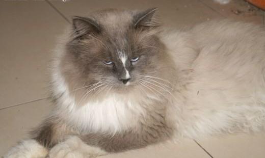 Kot syberyjski- Syberyjczyk-Neva Masquarade-reproduktor   śląskie Bielsko-Biała