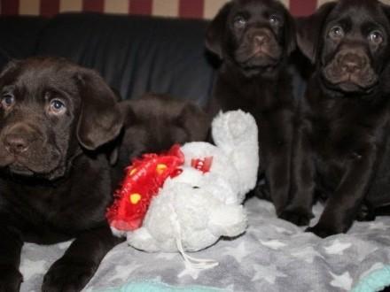 Oddam 4 czekoladowe misie Labrador Retriever bez rodowodu