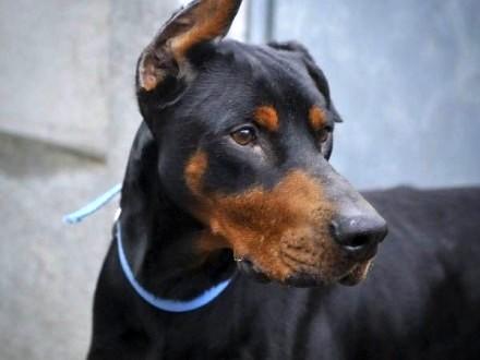 ARGO cudowny pies w typie rasy doberman szuka domu