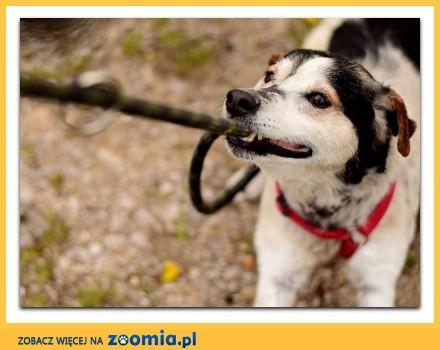11 kg typ teriera energiczny przyjazny towarzyski psiak GUSTAW_Adopcja