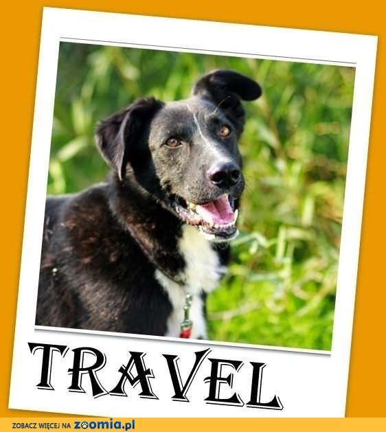 TRAVEL-zwykły,niezwykły pies,łagodny,spokojny,średni,ks.zdrowia