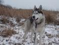 Rudi młody, aktywny, energiczny łagodny siberian husky ADOPCJA