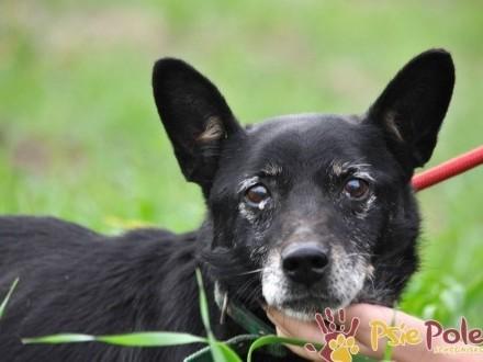 STOPEK-niewielki  spokojny  starszy uroczy psiak-10 lat-adopcja