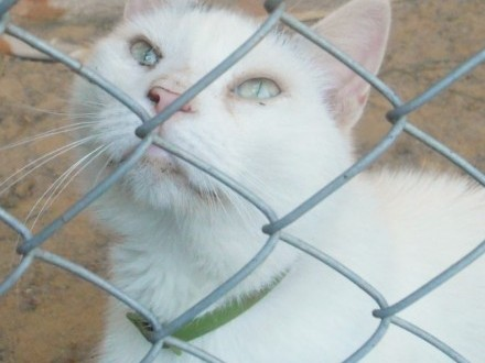 Biały  domowy kot czeka w schronisku na nowy dom!