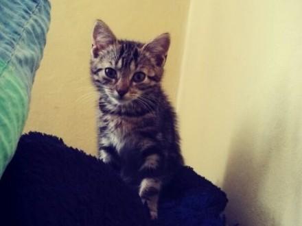 Mała kotka Isabelle szuka domu