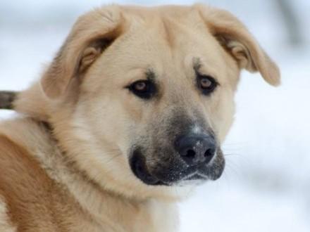 Młody wielkopies Redi  kochający człowieka pies szuka domu!