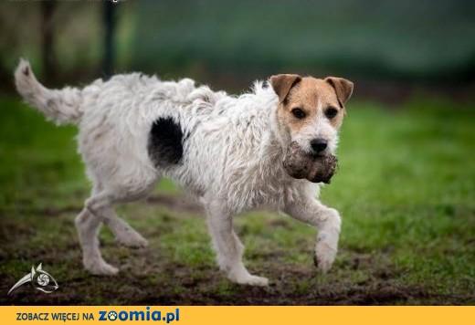 ZYZIA - terrier jak ta lala proszę Pani lub Pana! ,  śląskie Katowice