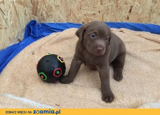 Rewelacyjny Pies Labrador Retriever - ogłoszenia z hodowli. Psy Labradory ZL53