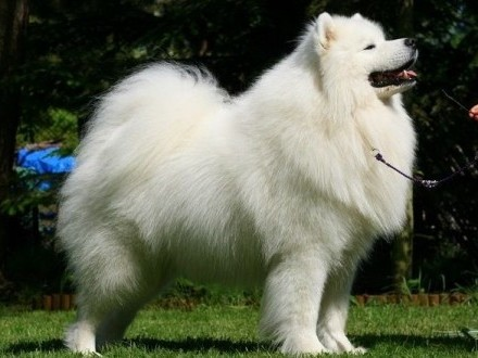 Reproduktory - samoyed- samojed hodowla Royal Winter