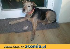 Znaleziono Psa typu Jack Russel terrier ,  małopolskie Kraków