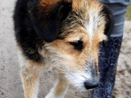 Tajson  piękny  łagodny psiak o unikalnym wyglądzie  pokochaj!