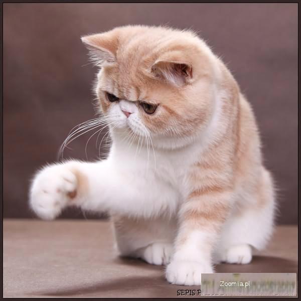 Sprzedam Kocurka Rasy Egzotyk Egzotyczny Koty Archiwum