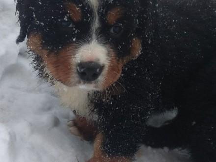Szczenięta - Berneński Pies Pasterski