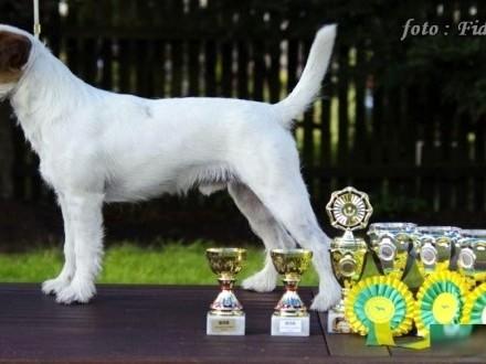 Parson Russell Terrier - ZKwP FCI szczęnięta