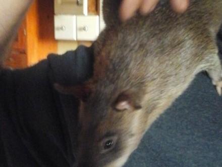 Wielkoszczury gambijskie