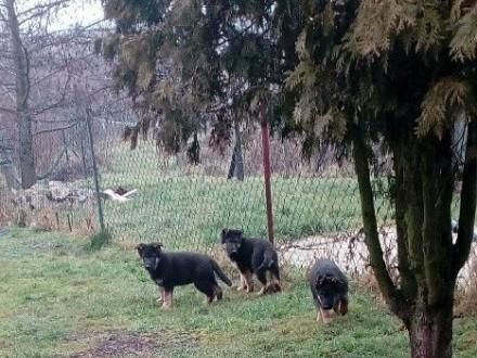 owczarek niemiecki szczeniaki i młodzież owczarki