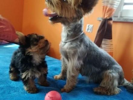 Yorkshire Terrier Śliczne Mini Yoreczki