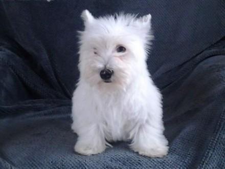 west highland white terrier szczeniaki z metryką   West highland white terrier cała Polska