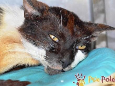 MAGOTEK-bardzo zaniedbany  spokojny kotek szuka troskliwego domu  ADOPCJA