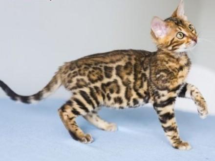 Kot bengalski na szczęście - melanistic bengal   wielkopolskie Konin