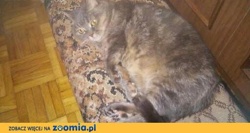 Zaginęła kotka, ,  mazowieckie Marki
