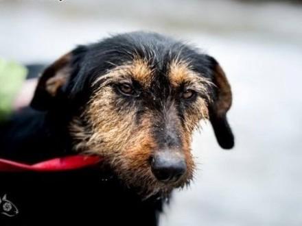Dżager to niewielki psiak w typie terriera  który szuka przyjaciela   świętokrzyskie Kielce