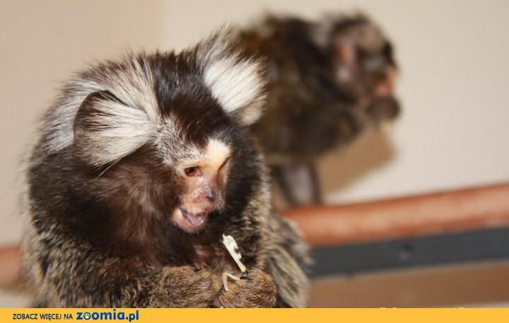 malpa malpka marmozeta białoucha zwyczajna callithrix jacchus