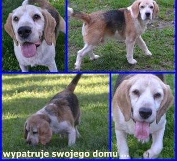 Sibo beagle idealny ;#8211; czeka na domek ;#8230;    Beagle cała Polska